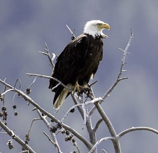 Bald Eagle Peale Island
